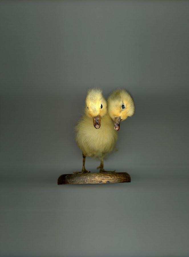 62 TWO HEADED CHICK